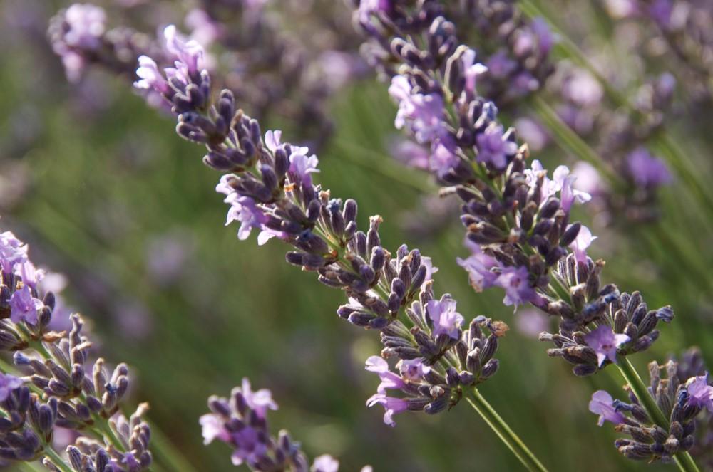 Plantes A Parfum Cihef Comite Interprofessionnel Des Huiles